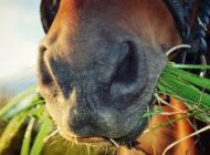 Syökö hevosesi jonain päivänä kotimaista mysliä?