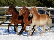 Hevoset lisäävät seutujen elinvoimaa