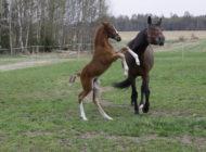 Kasvatustoiminta hevosyrityksissä